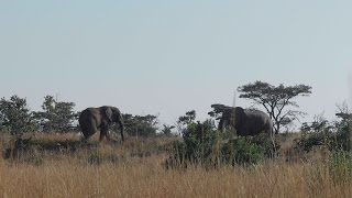 Animal Behaviour: When Elephants Meet