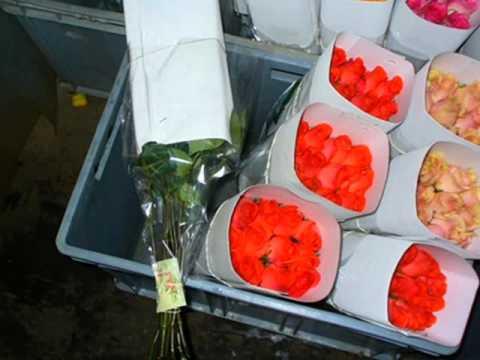Rose Farm: Ecuador