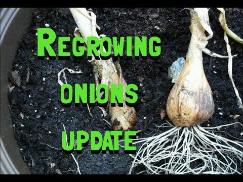 How To Regrow Onions Update Month Three