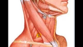 Localização dos Músculos do pescoço