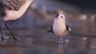 Piper, curta que será exibido nos cinemas junto com Procurando Dory,Trailer teaser 1