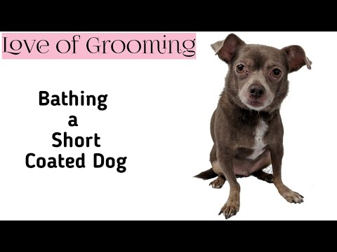 How to bathe and dry a short coated dog