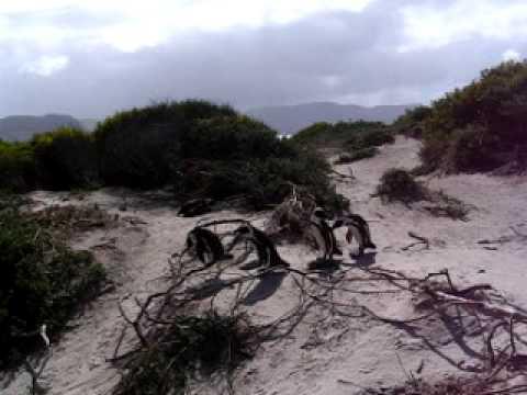 South Africa 2005 – Boulders Beach Penguins 2.