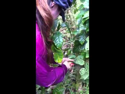 My coffee tree pruning debut @Nicaragua