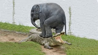 Amazing Elephant Save Baby Elephant From Crocodile Hunting | Animals Hunting Fail