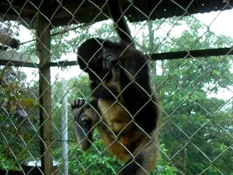 Monkey in Nicaragua