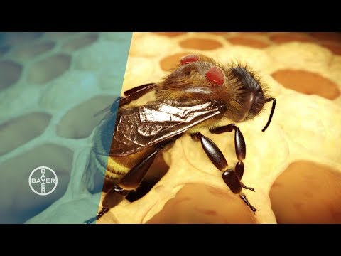 Varroa Mites: A Danger to Bees
