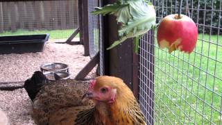 My Lovely Brahma Girls Love Juicy Apples!