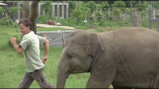 Baby elephant play and run around with a man