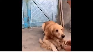Master pretend to beat little puppy up, his mother beg for mercy 主人假裝打小金毛,媽媽馬上過來求情,真是可憐天下父母心