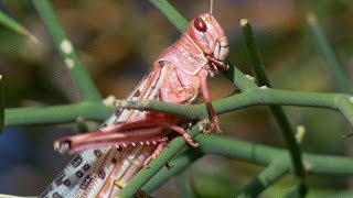 Swarm Of Locusts Devour Everything In Their Path | Planet Earth | BBC Earth
