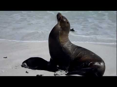 Ecuador Galapagos sea lion with baby part 2
