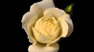 Blooming White Rose Flower - Timelapse