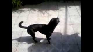 Cachorro cantando...Cliffordh