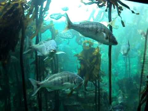 Fish in Kelp Forest – Two Oceans Aquarium