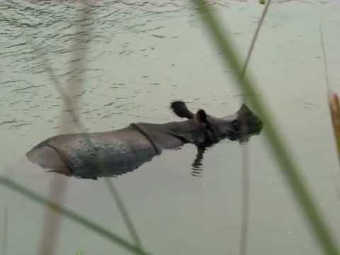 Отдых носорога в реке