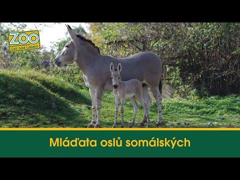 Mláďata oslů somálských