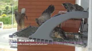 Crias de falcão recebem alimento da mãe Margarida