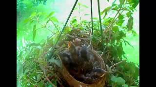 Nascimento de pássaros - o processo de 4 semanas
