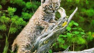 gato selvagem africano mestre na captura de presas, Wild life, Reino animal, Animals