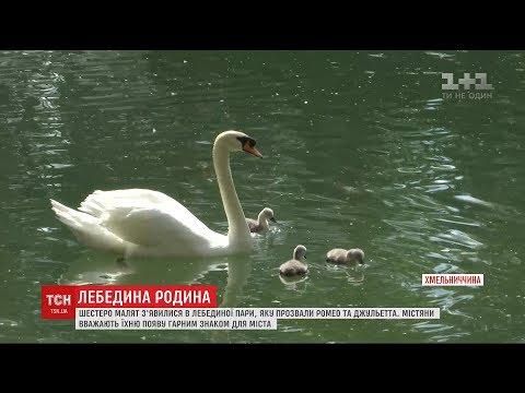 В Кам'янець-Подільському вилупилось 6 маленьких лебедів на Лебединому озері
