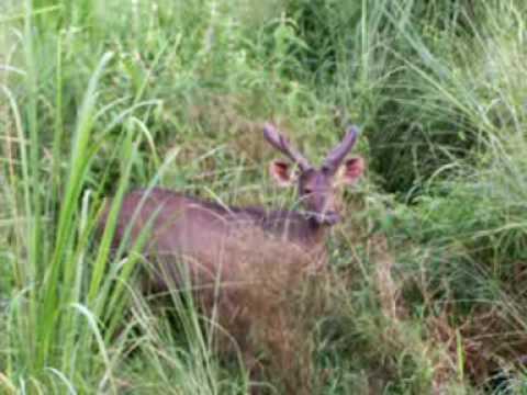 Un ciervo macho de cuatro años