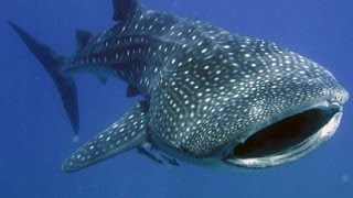 Whale Shark Thailand - FIRST TIME on iSaw A3 Extreme HD by Freedom Divers, Phuket