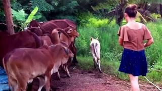 """ต้อนวัวเข้าคอก """"ผู้สาวเลี้ยงวัว"""""""