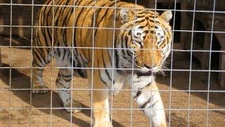 Roaring Royal Bengal Tiger - Amazing Footage