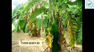 โรคตายพรายในกล้วย ปัญหาที่แก้ไม่ได้ ด้วยสารเคมีทั่วไป