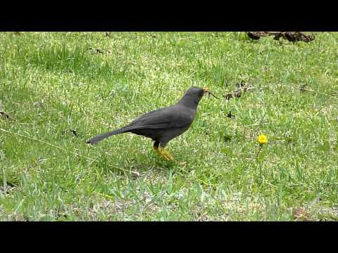 Great Thrush with worm by Charlie Vogt  www.andeanbirding.com