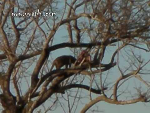 Leopard in the Manyeleti