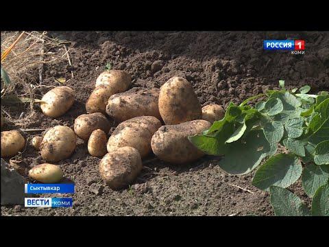 Эксперты рассказали, как жара влияет на урожай картофеля