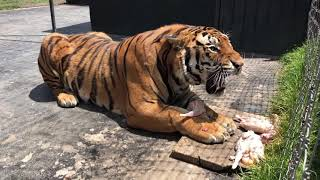 ROYAL BENGAL TIGER....