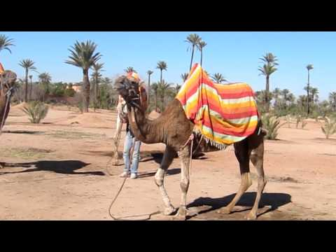 Sam and Aisha Marrakech Camel Ride Part 1