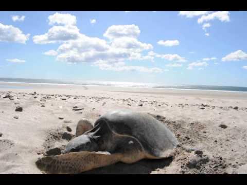 Green Turtles laying eggs on Mansanillo Beach III