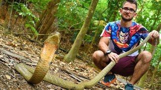 Herping Catching Wild King Cobra