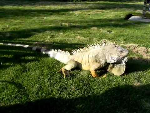 ECUADOR Huge Land Iguana Shaking Creepy Head Guiyaquil 20100721