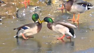 Funny Duck-Fight on Ice