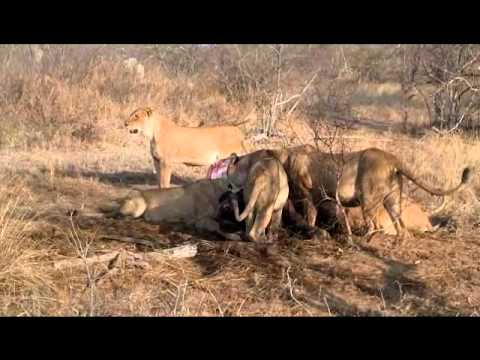 South Africa – Lions Eating a Cape Buffalo