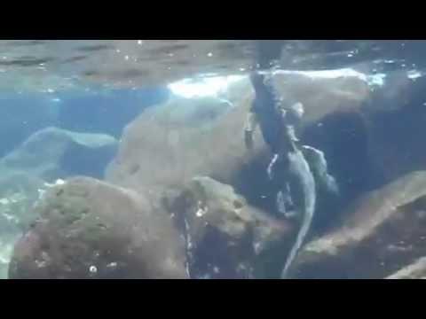 Galapagos Marine Iguana: Adventure Associates of WA
