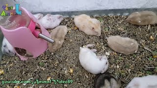 Cute Baby Hamsters Playing - Animal Video