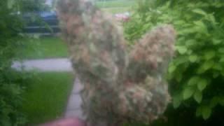 Smoke di Weed De-Mo Mice wmv
