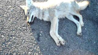 Follow Mii Dead Coyote