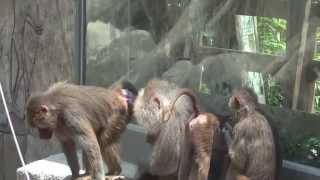Macaco Chines Cruzando