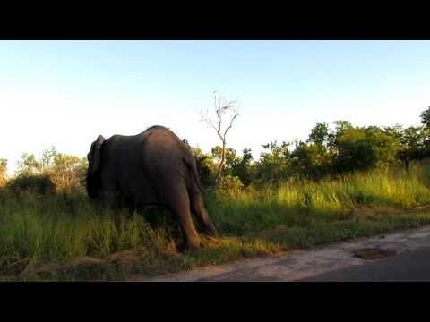 Krugerpark, Enkele olifanten langs de weg.