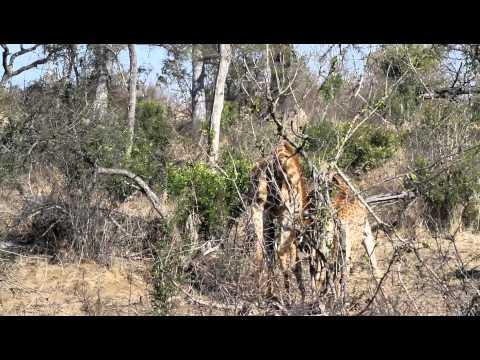 Giraffe mating joust