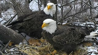Live Bald Eagle Nest in National Arboretum, Washington D.C.