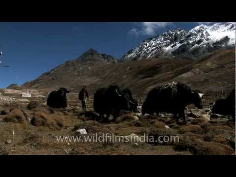 Yaks, Teesta river and Mt. Chomiomo / Kanchenjhau, in Sikkim