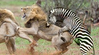 leão ataque zebra mas falhou, vida selvagem, tigre, Águia, leopardo, crocodilo, búfalo